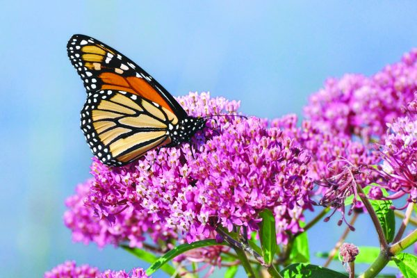 Monarch Butterfly on Swamp Milkweed (Asclepias incarnata)