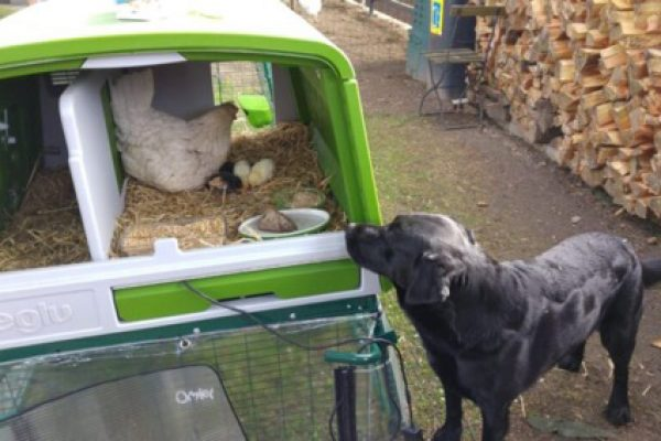 Keeping Chickens with Dogs