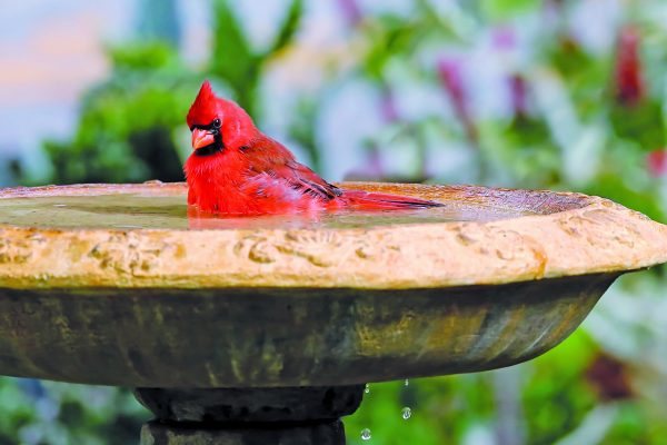 Got a Bird Bath? Tips to Attract Your Feathered Friends